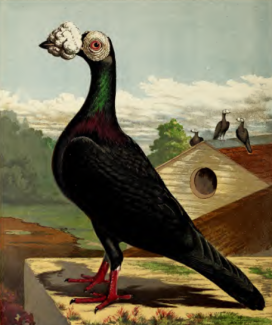 Black Carrier Pigeon