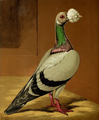 Blue Carrier Pigeon